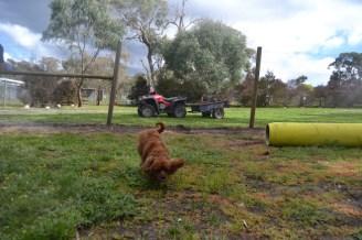banksia-park-puppies-pavati-17-of-35