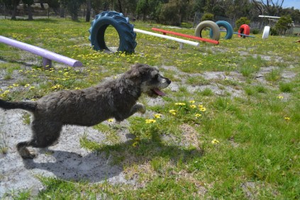banksia-park-puppies-loopy-8-of-15