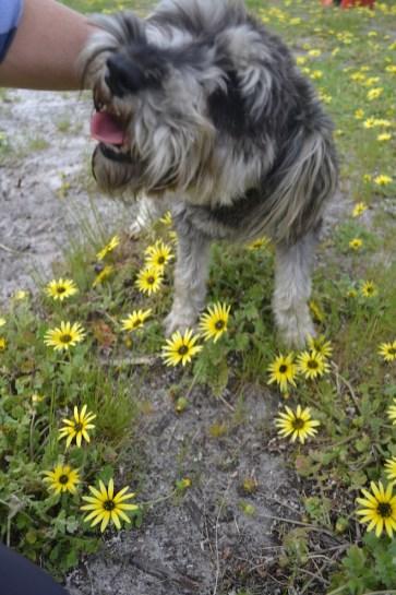 banksia-park-puppies-lulu-3-of-9