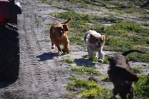 Banksia Park Puppies Ravi - 13 of 39