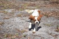 Banksia Park Puppies Ravi - 16