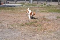 Banksia Park Puppies Ravi - 18