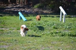 Banksia Park Puppies Ravi - 21 of 39