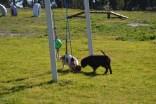 Banksia Park Puppies Ravi - 25 of 39