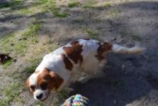 Banksia Park Puppies Ravi Lance - 29 of 47
