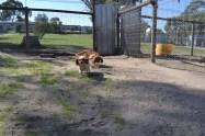 Banksia Park Puppies Ravi Lance - 35 of 47