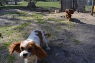Banksia Park Puppies Ravi Lance - 37 of 47