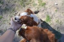 Banksia Park Puppies Ravi Lance - 4 of 47