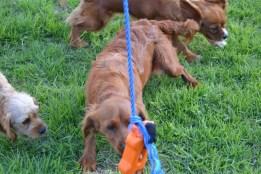 Banksia Park Puppies Rivi - 1 of 8