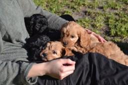 Banksia Park Puppies June Cavoodles