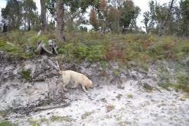 banksia-park-puppies-bluberri-8-of-14