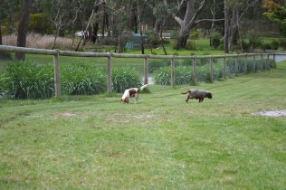 banksia-park-puppies-chacha-27-of-36