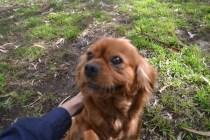 banksia-park-puppies-honey-13-of-33