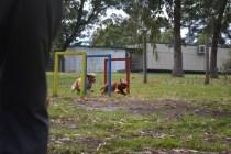 banksia-park-puppies-honey-24-of-33