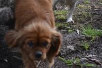 banksia-park-puppies-honey-3-of-33