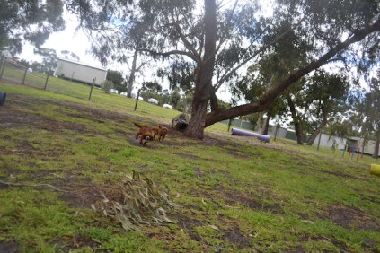 banksia-park-puppies-shayla-1-of-41