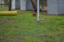 banksia-park-puppies-shayla-13-of-41