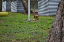 banksia-park-puppies-shayla-14-of-41