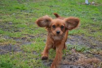 banksia-park-puppies-shayla-19-of-41