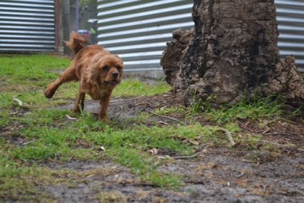 banksia-park-puppies-shayla-26-of-41