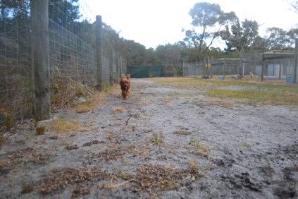 banksia-park-puppies-shiela-9-of-13