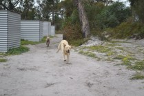 banksia-park-puppies-strawberri-8-of-14