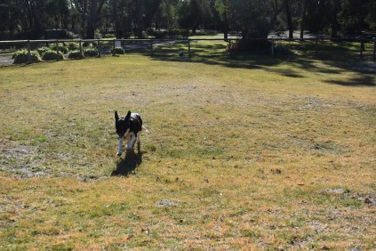 Ludo-Cavador-Banksia Park Puppies - 28 of 41