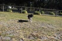 Ludo-Cavador-Banksia Park Puppies - 33 of 41