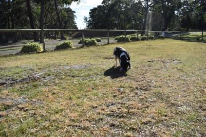 Ludo-Cavador-Banksia Park Puppies - 4 of 41
