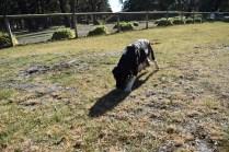 Ludo-Cavador-Banksia Park Puppies - 5 of 41