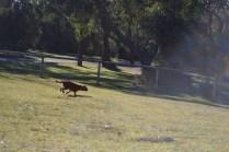 Sheila- Banksia Park Puppies - 17 of 32