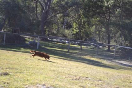 Sheila- Banksia Park Puppies - 18 of 32