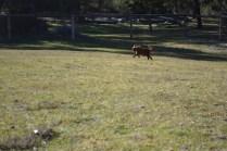 Sheila- Banksia Park Puppies - 25 of 32