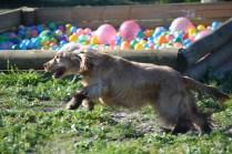 Banksia Park Puppies Jacinta - 12 of 49