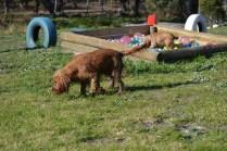 Banksia Park Puppies Jacinta - 33 of 49