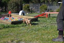 Banksia Park Puppies Jacinta - 36 of 49