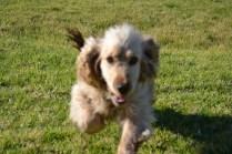 Banksia Park Puppies Jacinta - 8 of 49