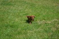 banksia-park-puppies-dana-6-of-14
