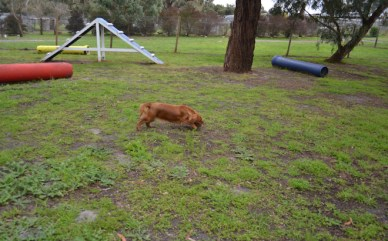 banksia-park-puppies-hailey-12-of-25