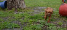 banksia-park-puppies-hailey-18-of-25