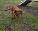 banksia-park-puppies-hailey-24-of-25