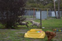 banksia-park-puppies-hailey-3-of-25