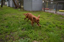 banksia-park-puppies-hailey-9-of-25
