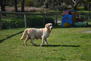 banksia-park-puppies-hunny-30-of-31