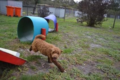 banksia-park-puppies-koko-14-of-29