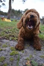banksia-park-puppies-koko-27-of-29