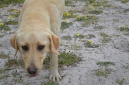 banksia-park-puppies-raspberri-1-of-11