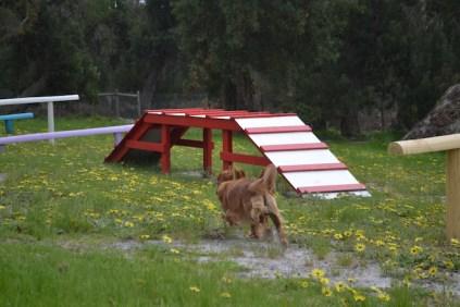 banksia-park-puppies-skyla-12-of-16
