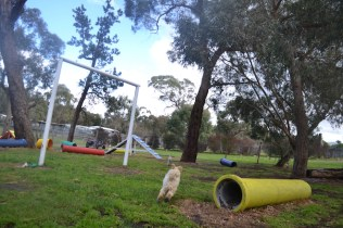 banksia-park-puppies-buddy-10-of-25