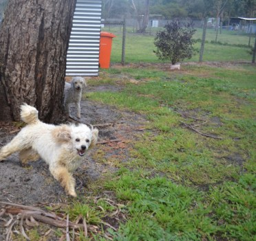 banksia-park-puppies-buddy-12-of-25